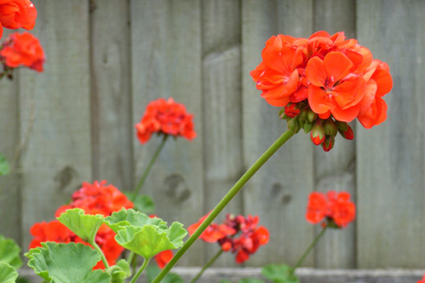 Ordinary Geraniums