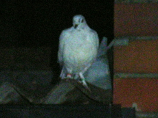 Homing Pigeon at night