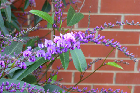 Happy Wanderer or Hardenbergia Violacea
