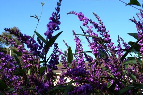 Happy Wanderer (Hardenbergia Violacea)
