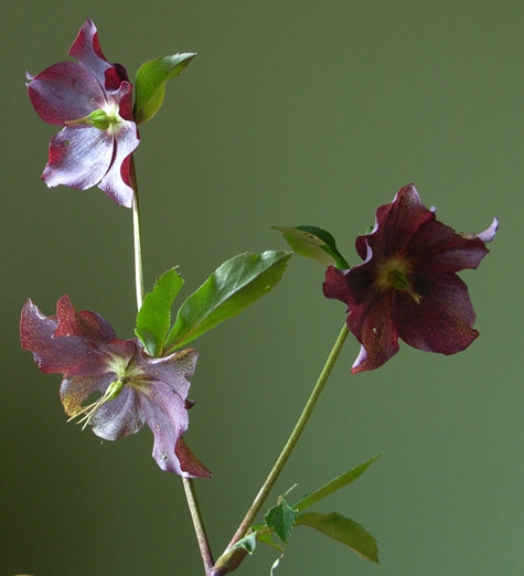 Helleborus, or Winter Rose