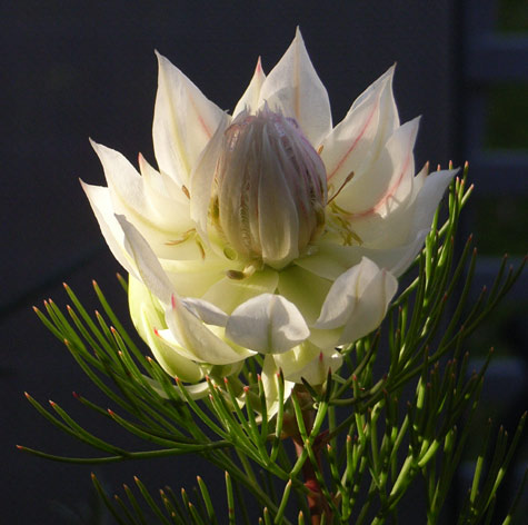 Blushing Bride (Serruria florida)