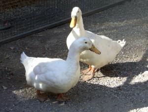 20090206-ducks