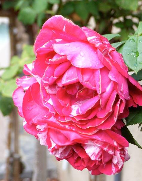 20090407-roses