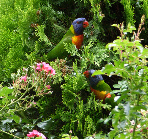 20100126-RainbowLorikeet