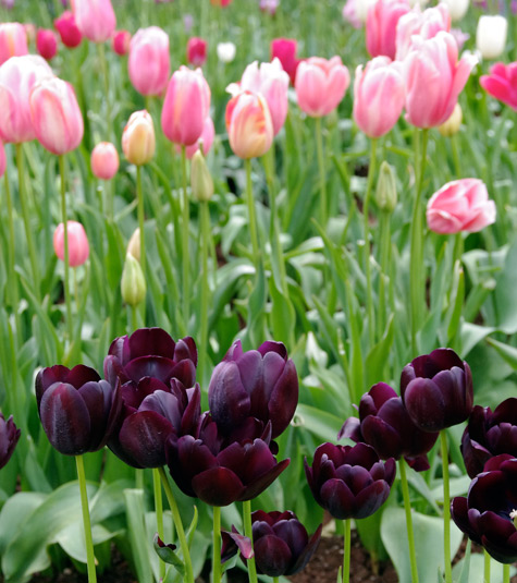 Pink and Dark Purple Tulips