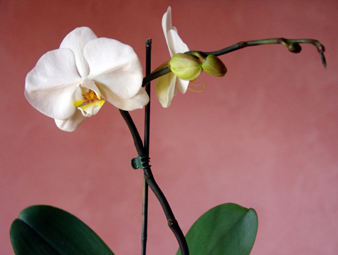 My Phalaenopsis Orchid, detail