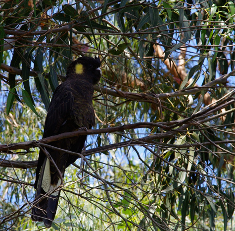 Yellow-Tailed Blck Cockatoo